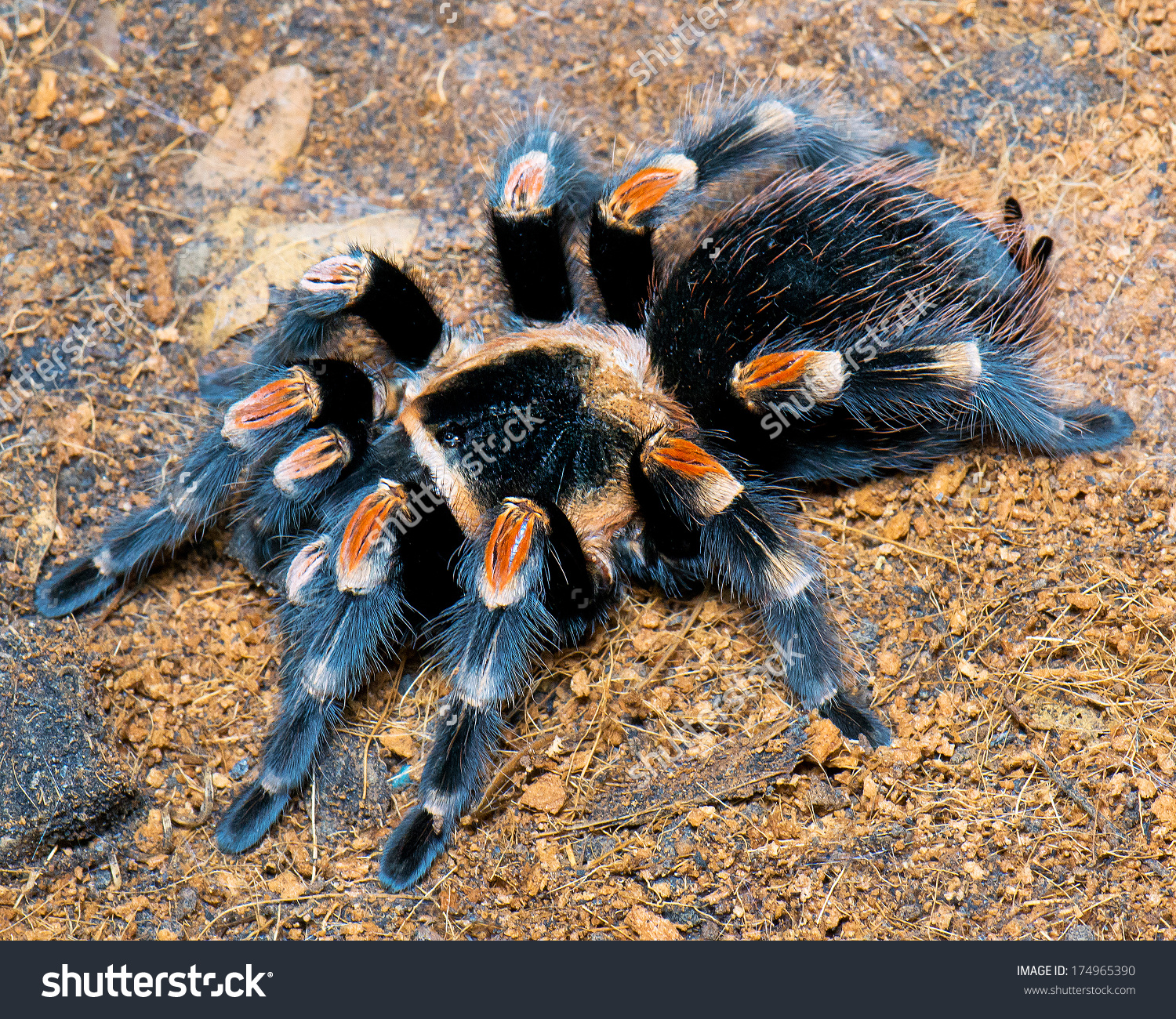 Closeup Mexican Red Knee Tarantula Euathlus Stock Photo 174965390.