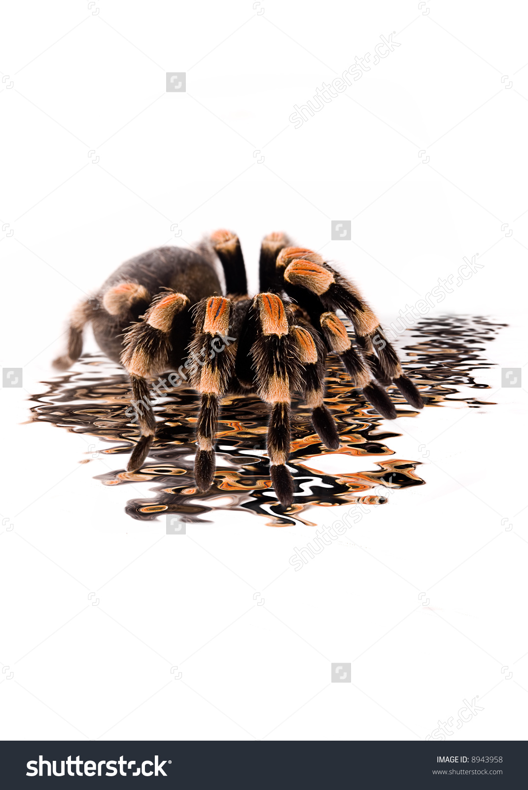 Pet Mexican Red Knee Tarantula Stock Photo 8943958 : Shutterstock.