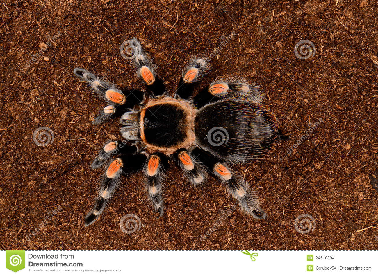 Mexican Red Knee Tarantula Stock Images.