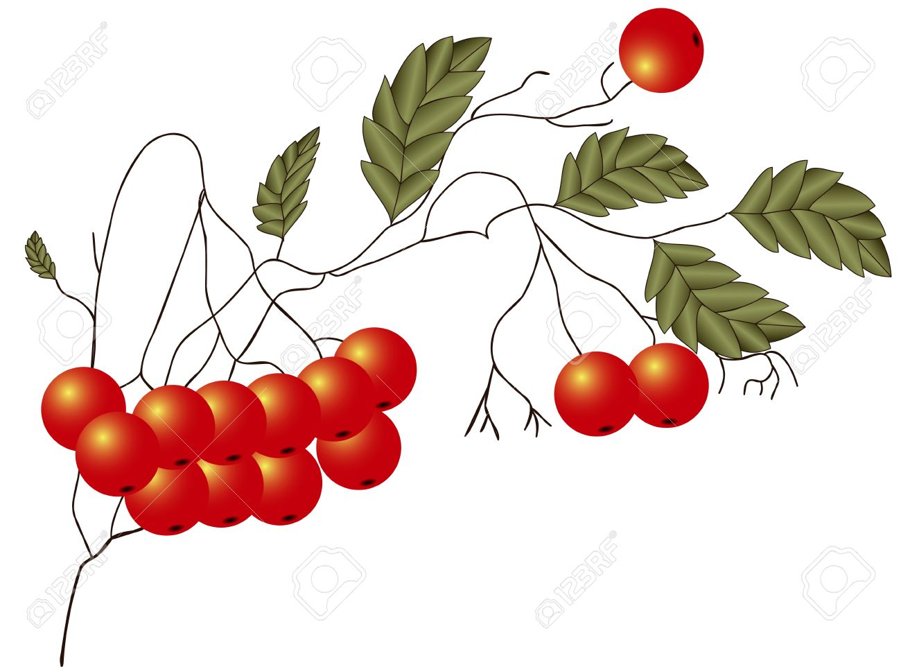 Illustration Of Ripe Red Rowan Twigs With Leaves On A White.