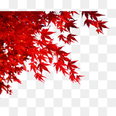Red Maple Leaves PNG Images.