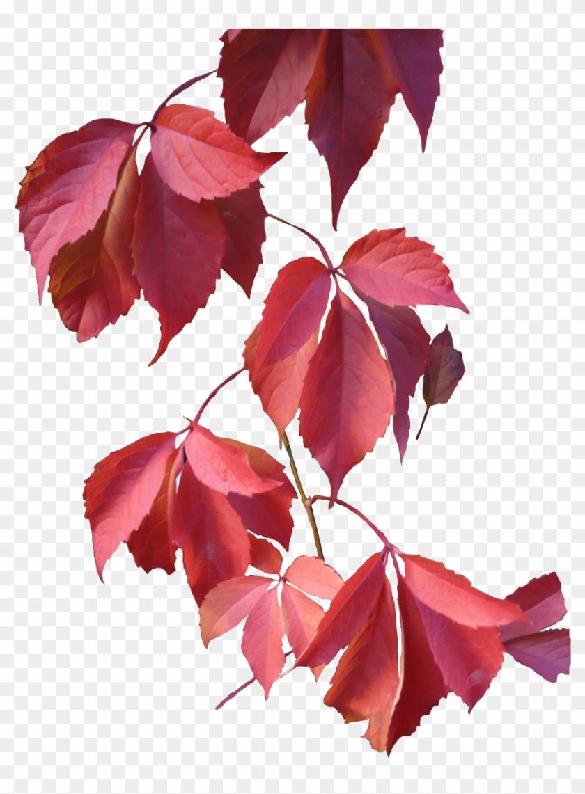 Leaves Rose.