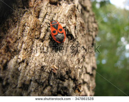 Red Soldier Bug Stock Photos, Royalty.