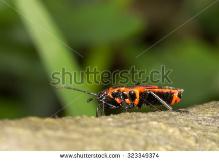 Red Soldier Bugs Stock Photos, Royalty.