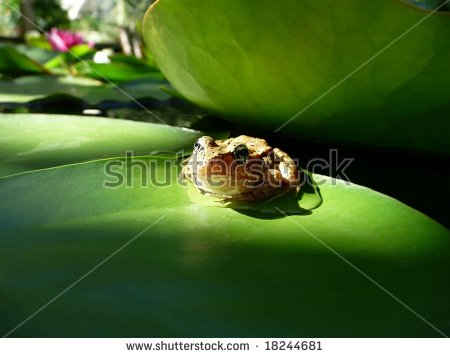 Red Legged Frog In Highlight Of Sun On Lily Pad Stock Photo.