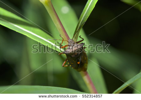 Shieldbug Stock Photos, Royalty.