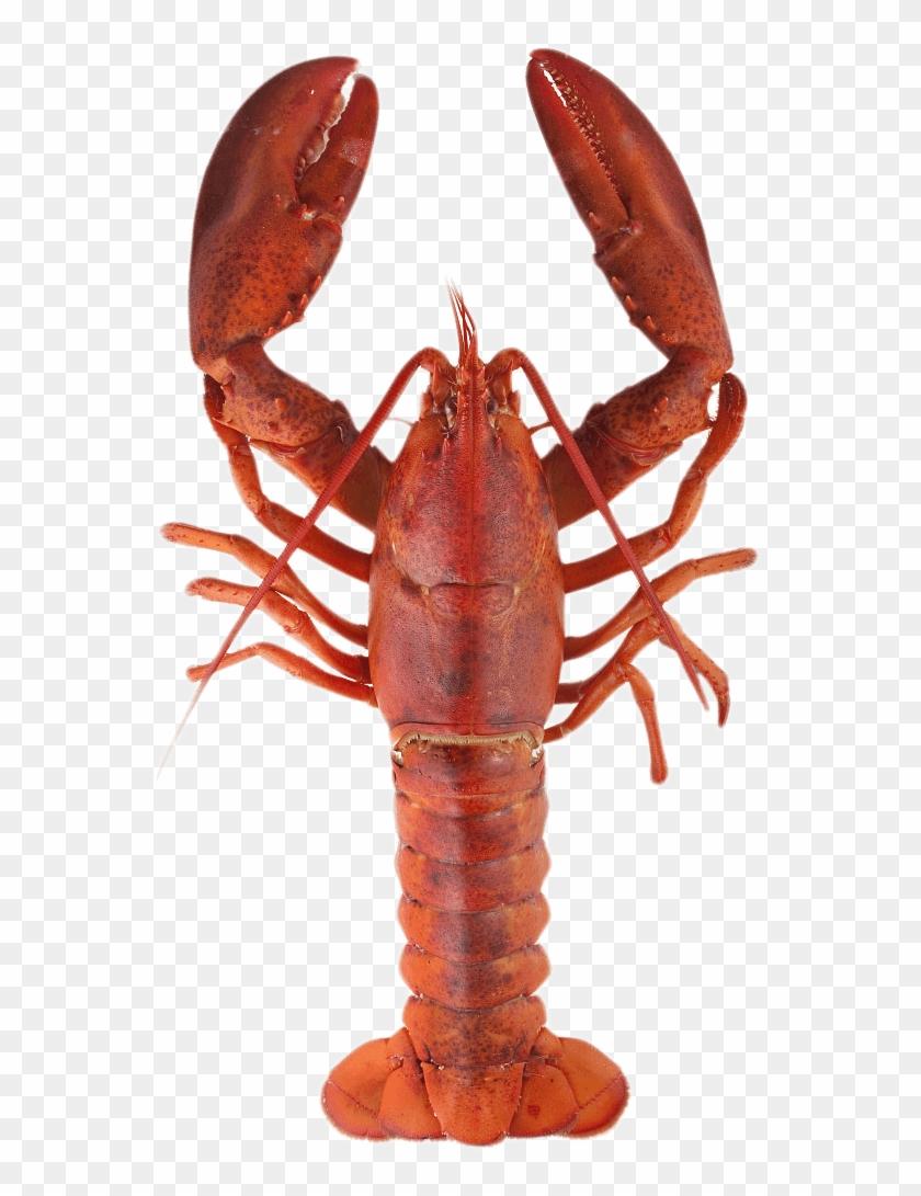 Lobster Top.