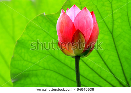 Plants Lotus Stock Photos, Images, & Pictures.