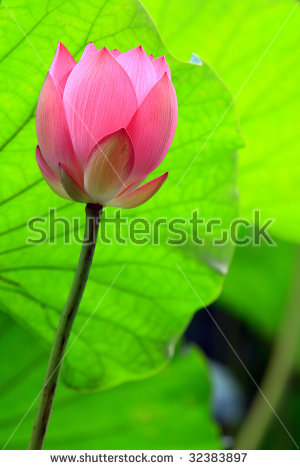 Red Lotus Flower Bud Against Green Stock Photo 64640545.