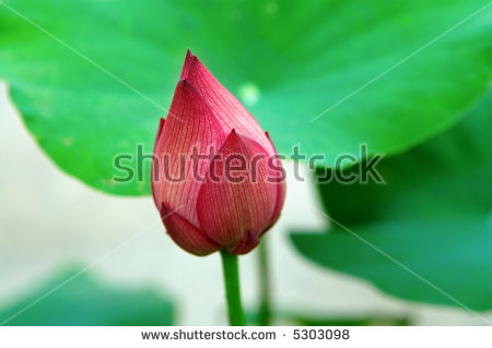Lotus Leave Banco de imágenes. Fotos y vectores libres de derechos.