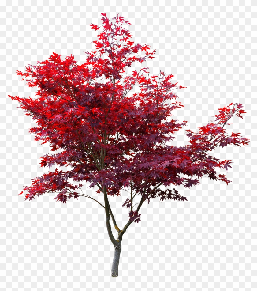 Japanese Maple Cut Out , Png Download.