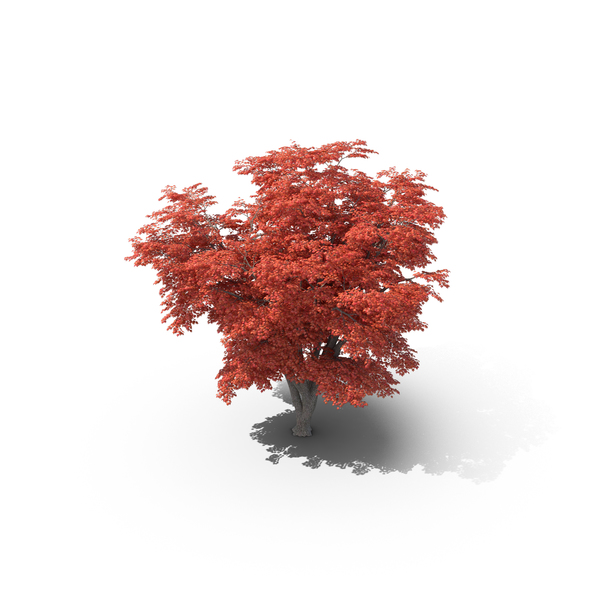 Japanese Maple Png (+).