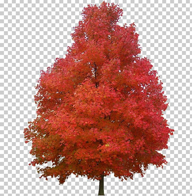 Sugar Maple Red Maple Tree Paper Plant PNG, Clipart.