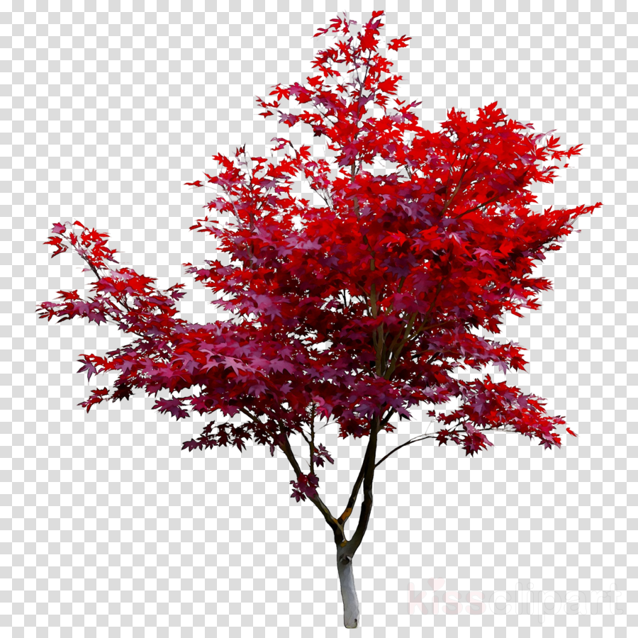 Red Maple Tree clipart.