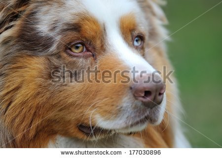 Red Merle Stock Photos, Royalty.