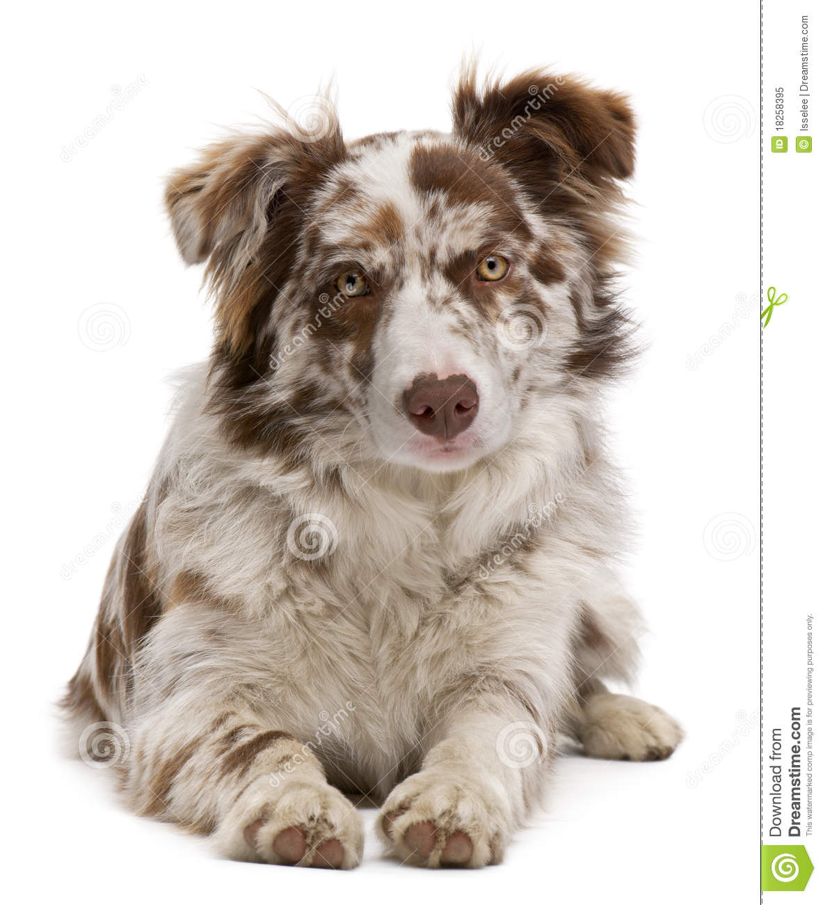 Red Merle Border Collie, 6 Months Old, Lying Royalty Free Stock.