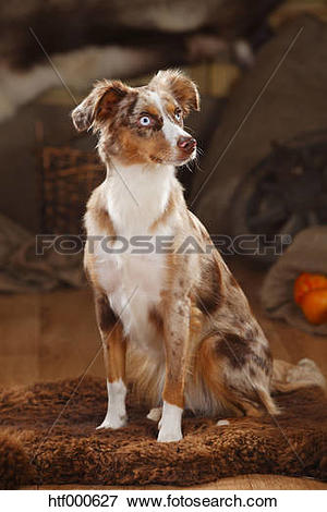 Picture of Australian Shepherd, bitch, red.