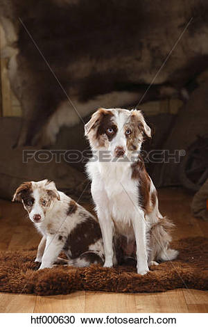 Stock Photography of Australian Shepherd, bitch and puppy, red.