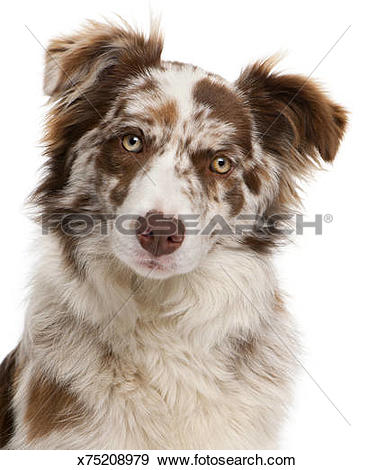 Stock Photograph of Red Merle Border Collie (6 months old.