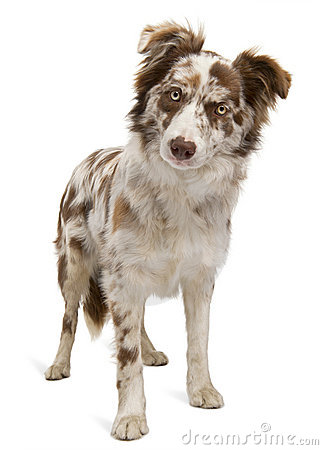 Red Merle Border Collie Royalty Free Stock Images.