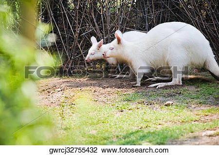 Stock Photo of Two Albino Red.
