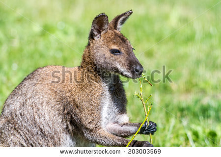 Rednecked Wallaby Kangaroo Eating Stock Photo 203003569.