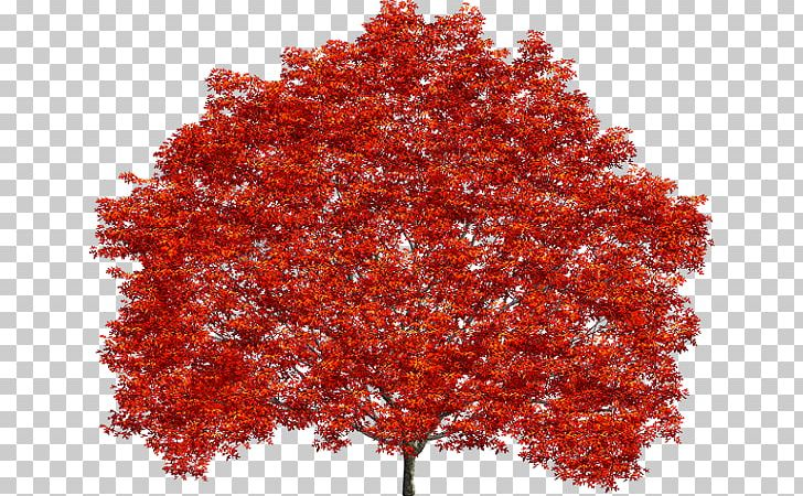 Treelet Shrub Maple Leaf Northern Red Oak PNG, Clipart.