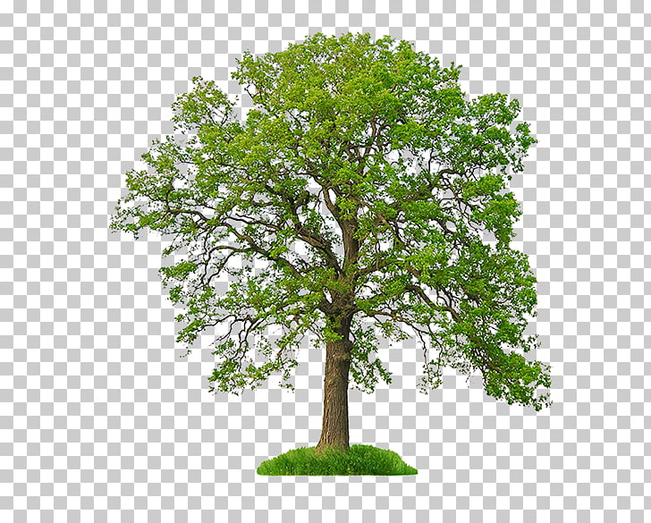 White oak Stock photography Tree Northern Red Oak, tree PNG.