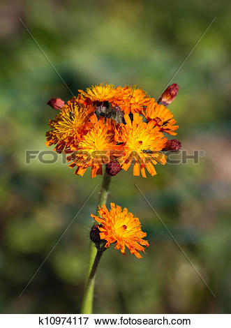 Picture of Fox and Cubs Wild Flower k10974117.