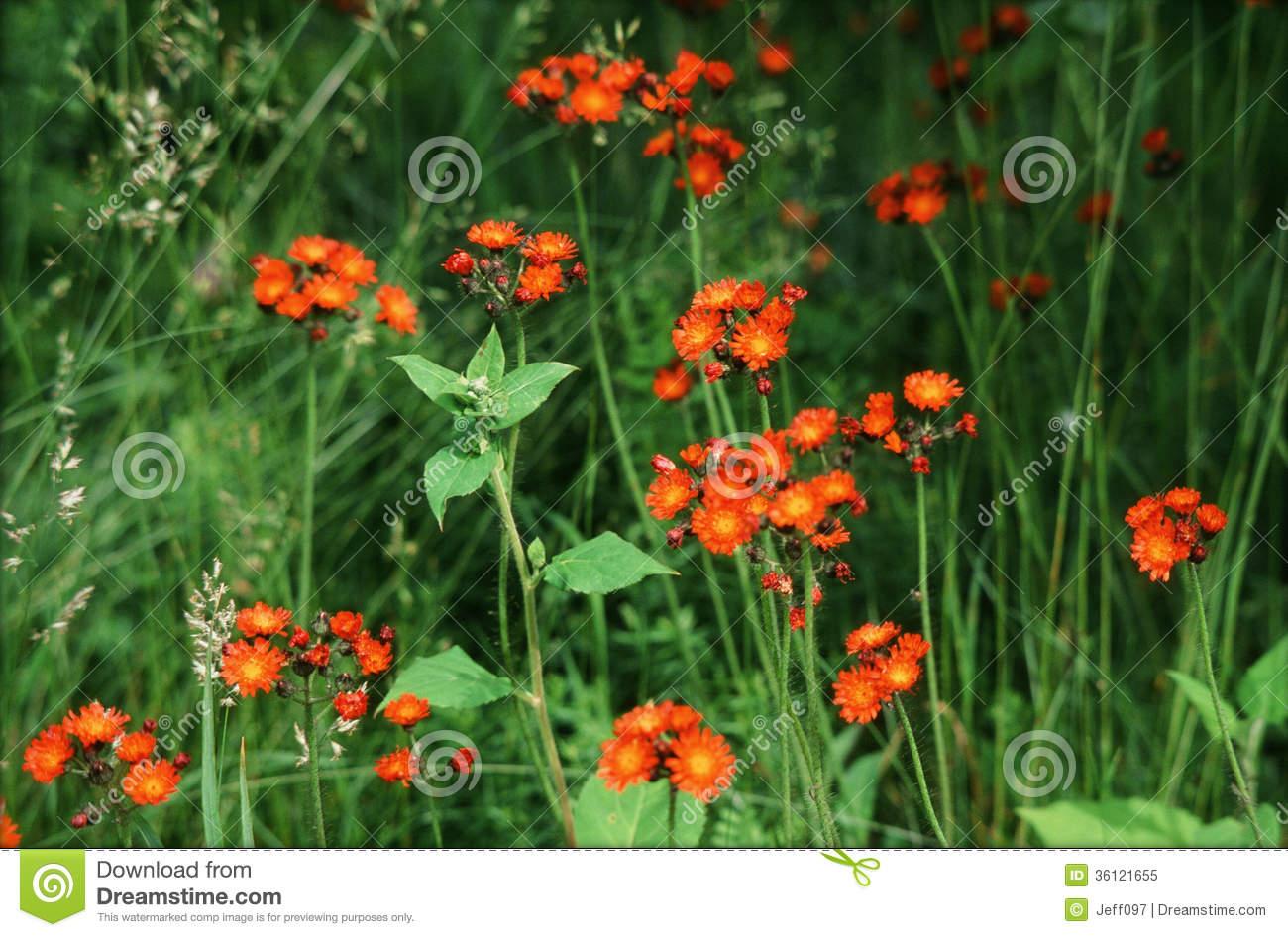 Orange Hawkweed In Green Meadow Royalty Free Stock Photo.