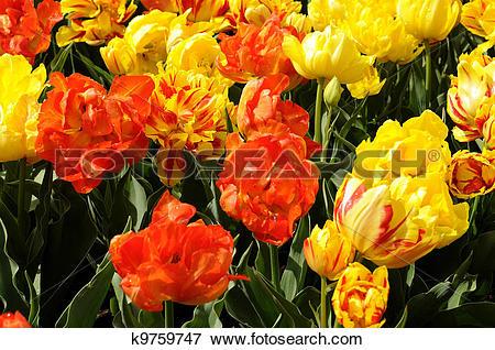 Picture of monte orange tulips, netherlands k9759747.
