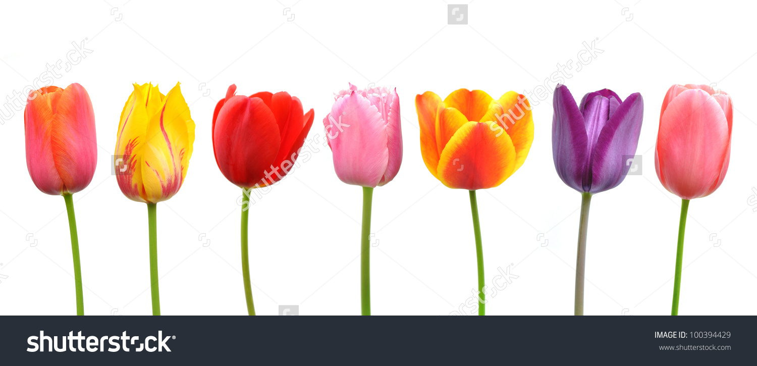 Multicolored Tulips Row Pink Yellow Red Stock Photo 100394429.