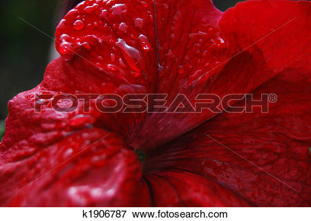 Picture of red petunia k1906787.