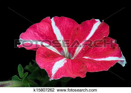 Stock Photo of Red Petunia flower isolated black k15807262.