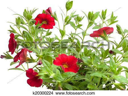 Stock Photo of red petunia k20300224.