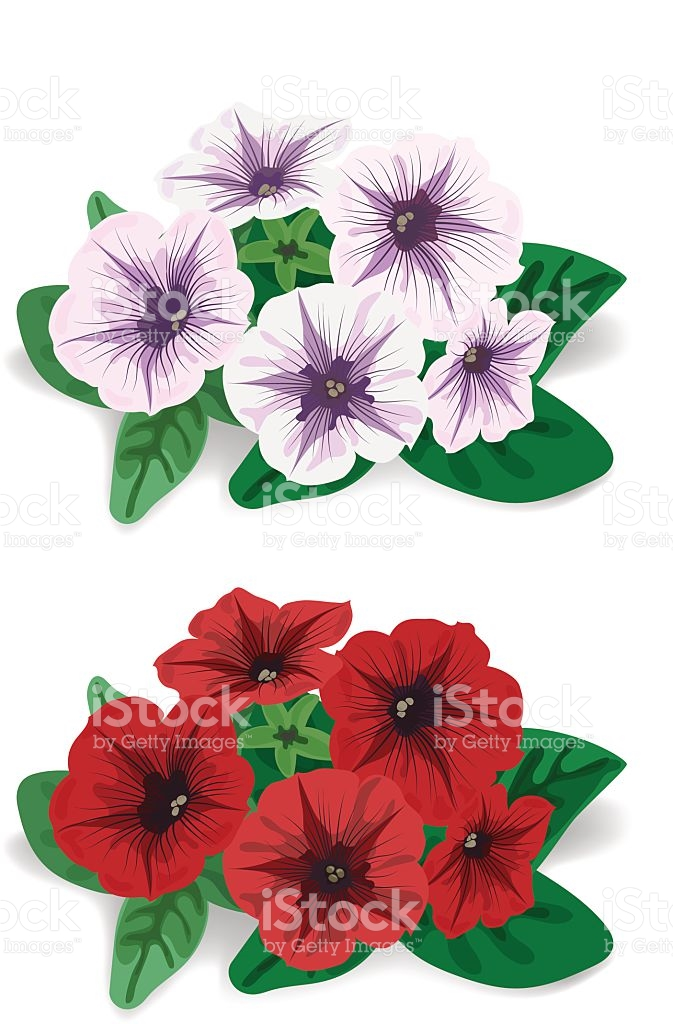 White And Red Flower Bush Petunia stock vector art 519535231.