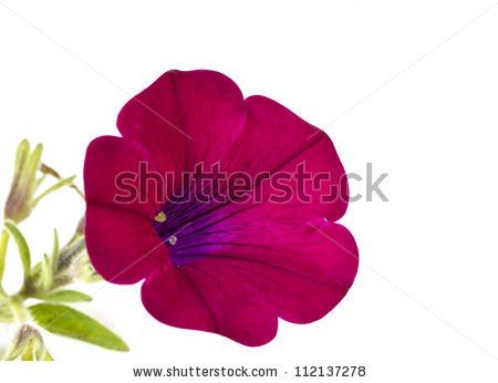 Red Petunia Flower On White Background Stock Photo 112137278.