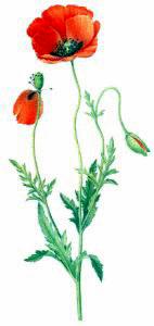 Free Poppy Clipart.