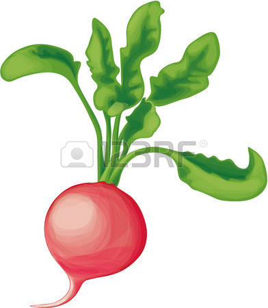 1,321 Red Radish Stock Vector Illustration And Royalty Free Red.