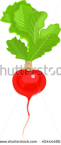 Vector Illustration Red Radish Plant Roots Stock Vector 511008268.