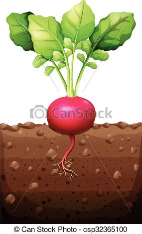 Vector Clipart of Red radish with roots underground illustration.