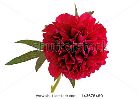 Rhododendron Isolated Stock Photos, Royalty.
