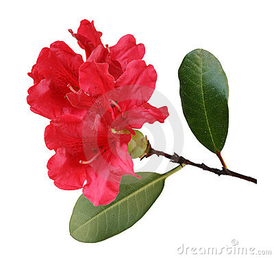 Red Rhododendron. Stock Photo.