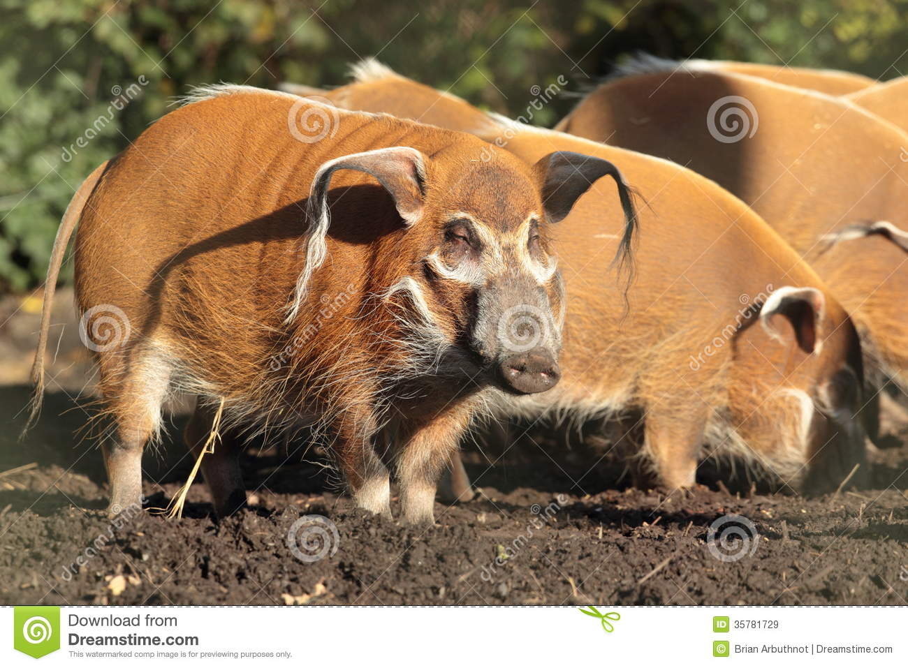 Red River Hog. Royalty Free Stock Images.