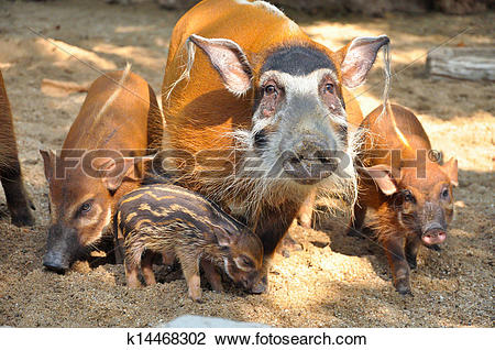 Clip Art of Red river hog k14468302.