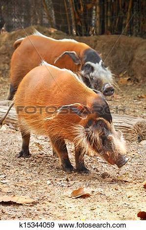 Stock Illustration of Red river hog k15344059.