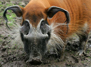 Red River Hog Facts, History, Useful Information and Amazing Pictures.