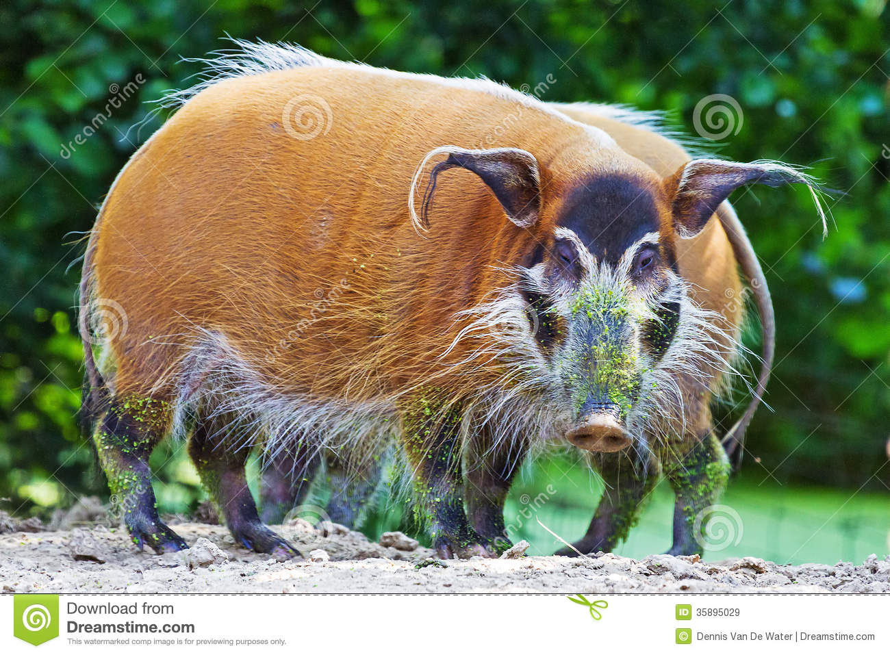 Red River Hog Royalty Free Stock Images.