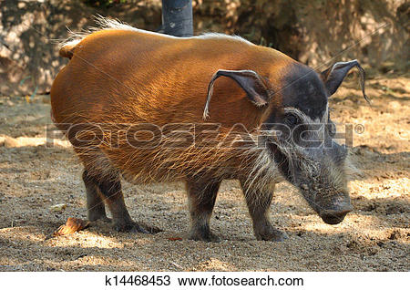 Drawing of Red river hog k14468453.