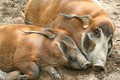 Red River Hogs Stock Images.